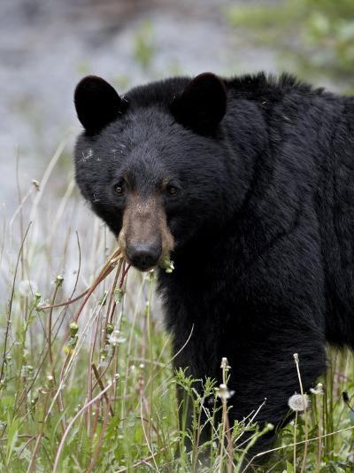 Black Bear (Ursus Americanus), Banff National Park, Alberta, Canada, North America-James Hager-Photographic Print