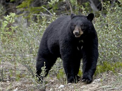 Black Bear (Ursus Americanus), Banff National Park, Alberta, Canada, North America--Photographic Print
