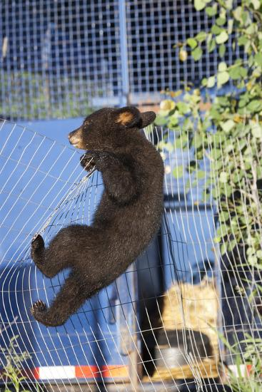 Black Bear (Ursus Americanus) Cub Climbing A Fence, Minnesota, USA, May- Shattil & Rozinski-Photographic Print
