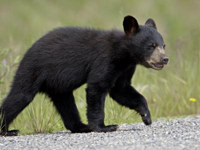 Black Bear (Ursus Americanus) Cub Crossing the Road, Alaska Highway, British Columbia, Canada-James Hager-Photographic Print