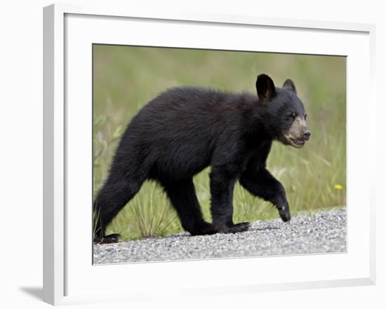 Black Bear (Ursus Americanus) Cub Crossing the Road, Alaska Highway, British Columbia, Canada-James Hager-Framed Photographic Print
