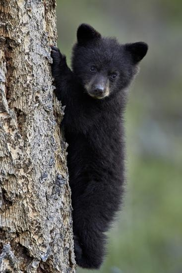 Black Bear (Ursus Americanus) Cub of the Year or Spring Cub Climbing a Tree-James Hager-Photographic Print