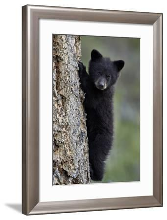 Black Bear (Ursus Americanus) Cub of the Year or Spring Cub Climbing a Tree-James Hager-Framed Photographic Print