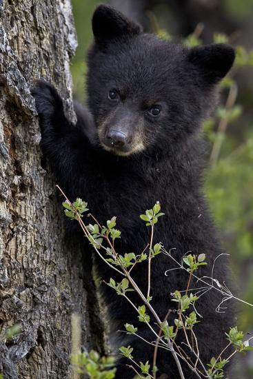 Black Bear (Ursus Americanus) Cub of the Year or Spring Cub, Yellowstone National Park, Wyoming-James Hager-Photographic Print