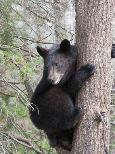 Black Bear (Ursus Americanus) in a Tree, Vince Shute Wildlife Sanctuary, Minnesota, USA-Cheryl Ertelt-Photographic Print