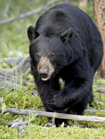 Black Bear (Ursus Americanus), Jasper National Park, Alberta, Canada, North America-James Hager-Photographic Print