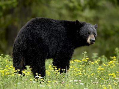 Black Bear (Ursus Americanus), Manning Provincial Park, British Columbia, Canada, North America-James Hager-Photographic Print