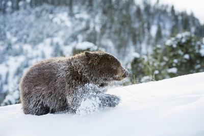 Black Bear (Ursus Americanus), Montana, United States of America, North America-Janette Hil-Photographic Print