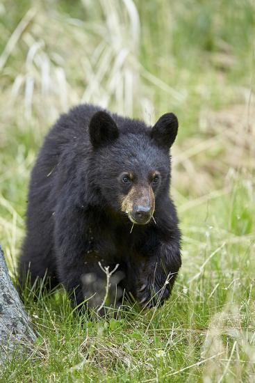 Black Bear (Ursus Americanus), Second Year Cub, Yellowstone National Park, Wyoming, U.S.A.-James Hager-Photographic Print