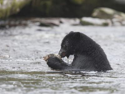 Black Bear (Ursus Americanus) Sitting in a Stream Eating a Salmon it Just Caught, British Columbia-Cheryl Ertelt-Photographic Print