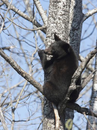 Black Bear (Ursus Americanus) Sitting in a Tree, Vince Shute Wildlife Sanctuary, Minnesota, USA-Cheryl Ertelt-Photographic Print
