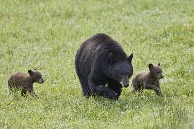 Black Bear (Ursus Americanus) Sow and Two Chocolate Cubs of the Year or Spring Cubs, Wyoming-James Hager-Photographic Print