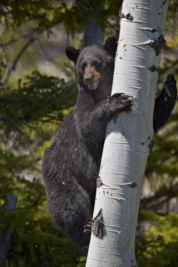 Black Bear (Ursus Americanus) Sow Climbing a Tree-James-Photographic Print