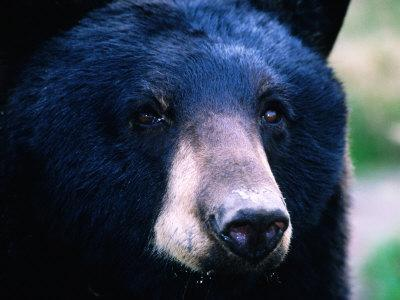 https://imgc.artprintimages.com/img/print/black-bear-ursus-americanus-u-s-a_u-l-p10rp00.jpg?p=0