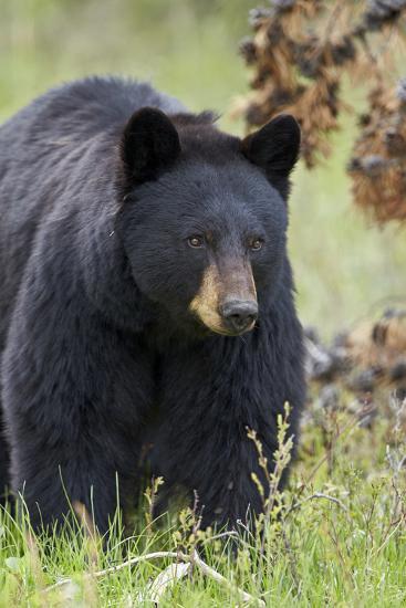 Black Bear (Ursus Americanus), Yellowstone National Park, Wyoming, United States of America-James Hager-Photographic Print