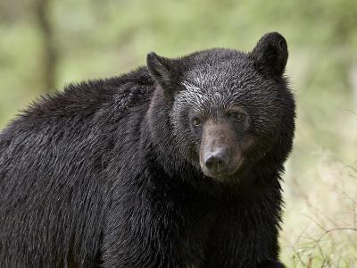 Black Bear (Ursus Americanus), Yellowstone National Park, Wyoming, USA, North America-James Hager-Photographic Print