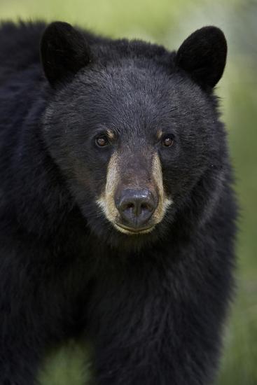 Black Bear (Ursus Americanus), Yellowstone National Park, Wyoming-James Hager-Photographic Print