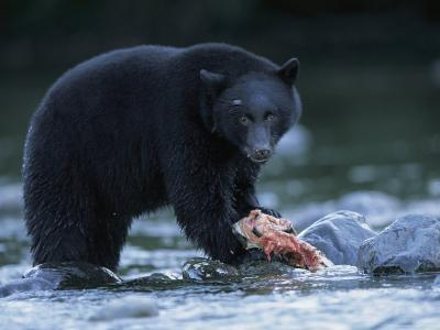Black Bear with Salmon Carcass-Joel Sartore-Photographic Print