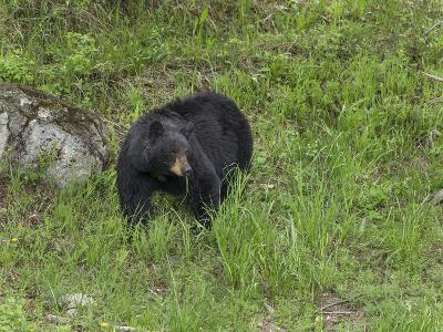 Black Bear (YNP)-Galloimages Online-Photographic Print