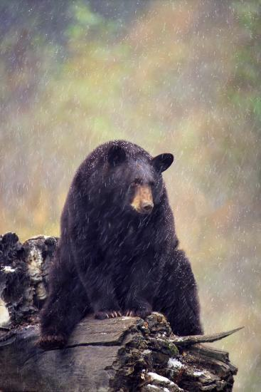 Black Bear-DLILLC-Photographic Print