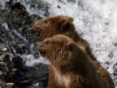 Black Bear-Jeff Foott-Photographic Print
