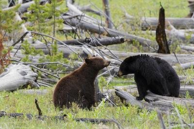 Black Bears, Spring Courting-Ken Archer-Photographic Print