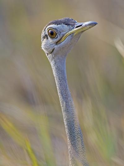 Black-Bellied Bustard, Eupodotis Melanogaster, Head, Moremi Wildlife Reserve, Botswana, Africa-Gerald & Buff Corsi-Photographic Print