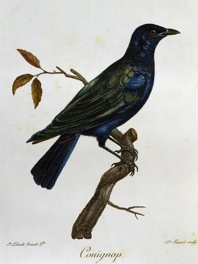 Black-Bellied Glossy-Starling (Lamprotornis Corruscus)--Giclee Print