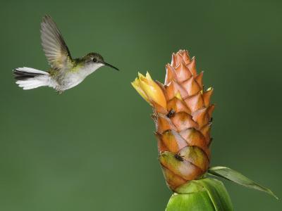 Black-Bellied Hummingbird, Central Valley, Costa Rica-Rolf Nussbaumer-Photographic Print