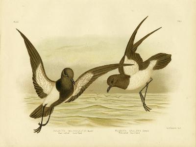 Black-Bellied Storm Petrel, 1891-Gracius Broinowski-Giclee Print