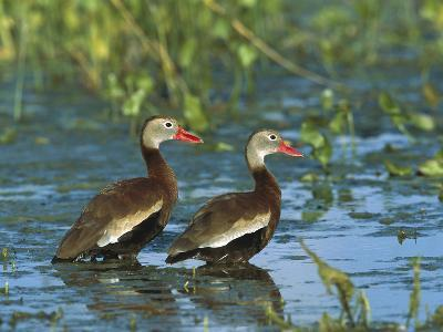 Black-Bellied Whistling Duck (Dendrocygna Autumnalis) Pair Wading, Rio Grand Valley, Texas-Tom Vezo/Minden Pictures-Photographic Print