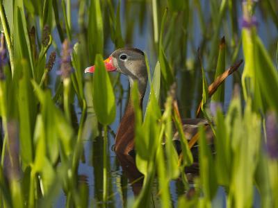 Black-Bellied Whistling Duck in Pickerel Weed, Dendrocygna Autumnalis, Viera Wetlands, Florida, USA-Maresa Pryor-Photographic Print