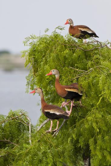 Black-Bellied Whistling Duck Perched in South Texas Habitat, USA-Larry Ditto-Photographic Print