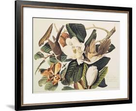 Black-Billed Cuckoo on Magnolia Grandiflora, 1828-John James Audubon-Framed Giclee Print