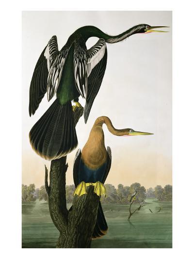 Black-Billed Darter, from 'Birds of America', engraved by Robert Havell-John James Audubon-Giclee Print