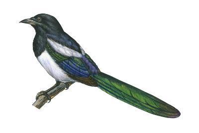 Black-Billed Magpie (Pica Pica), Birds-Encyclopaedia Britannica-Art Print