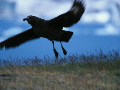 Black Bird Flying over the Grass--Photographic Print