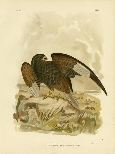 Black-Breasted Buzzard, 1891-Gracius Broinowski-Giclee Print