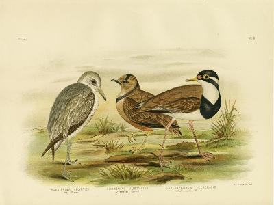 Black-Breasted Plover, 1891-Gracius Broinowski-Giclee Print