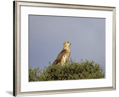 Black-Breasted Snake Eagle (Black-Chested Snake Eagle) (Circaetus Pectoralis)-James Hager-Framed Photographic Print