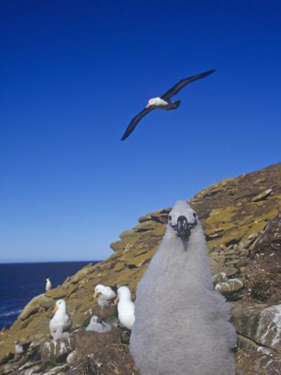 Black-Browed Albatross Chick, Diomedea Melanophris, Falkland Islands-Joe McDonald-Photographic Print