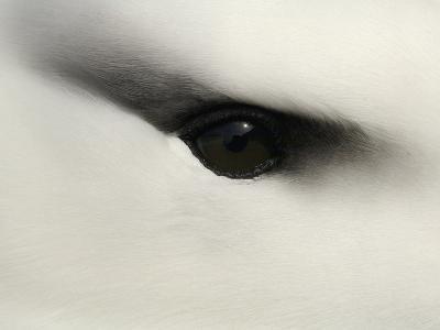 Black-Browed Albatross (Diomedea Melanophris) Eye Close Up-Solvin Zankl-Photographic Print