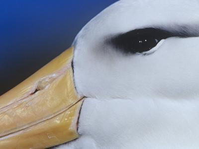 Black-Browed Albatross Eye and Upper Bill, Diomedea Melanophris, Falkland Islands-Joe McDonald-Photographic Print