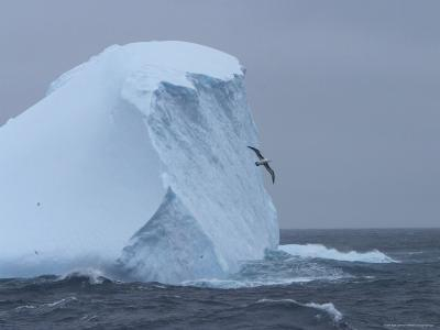 Black-Browed Albatross Flies Past Iceberg-Ralph Lee Hopkins-Photographic Print