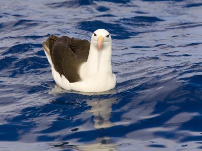 Black-Browed Albatross Floating on Sea-Momatiuk - Eastcott-Photographic Print