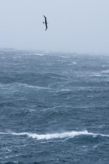Black-Browed Albatross Flying in Gale Force Winds over a Stormy Sea-Ralph Lee Hopkins-Photographic Print