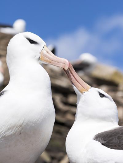 Black-Browed Albatross Greeting Courtship Display. Falkland Islands-Martin Zwick-Photographic Print