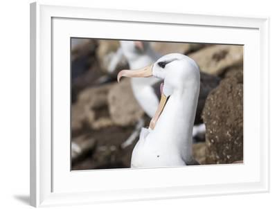Black-Browed Albatross Greeting Courtship Display. Falkland Islands-Martin Zwick-Framed Photographic Print