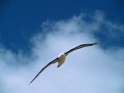 Black-Browed Albatross in Flight, Argentina-Charles Sleicher-Photographic Print