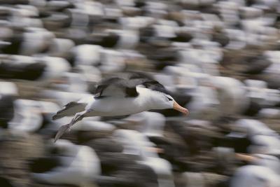 Black-Browed Albatross in Flight-DLILLC-Photographic Print